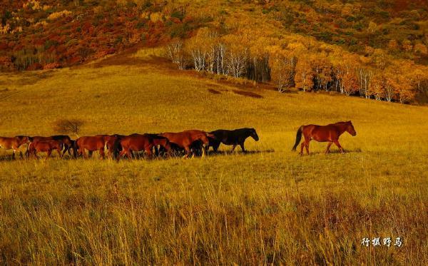 莜麦,玉米,谷子在秋日暖阳的照射下肆意张扬着自身的金黄色;枝头上