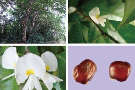 非洲杂色豆外观形似紫檀木