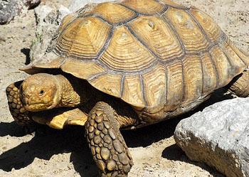 马达加斯加岛象龟